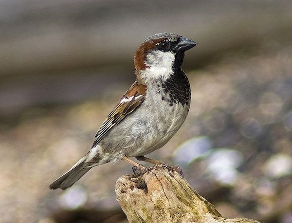 House Sparrow (Photo: Creative Commons)