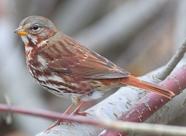 Fox Sparrow (Photo: Creative Commons)