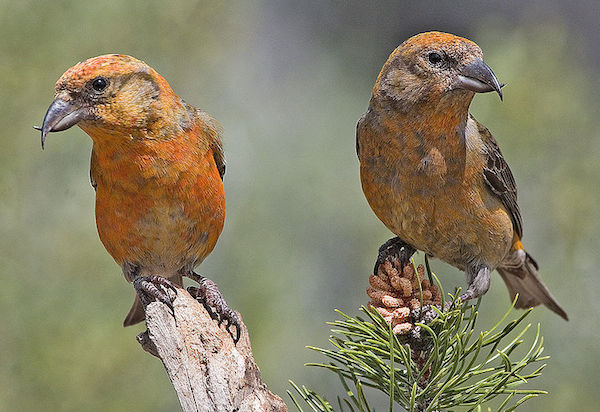 Red Crossbills (Photo: Creative Commons)