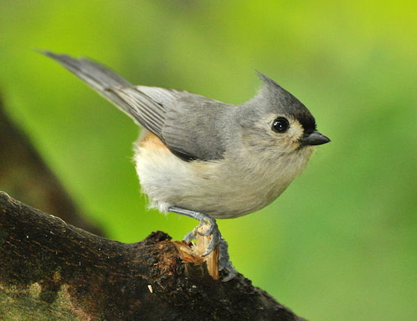 Tufted Titmouse (Photo: Creative Commons)