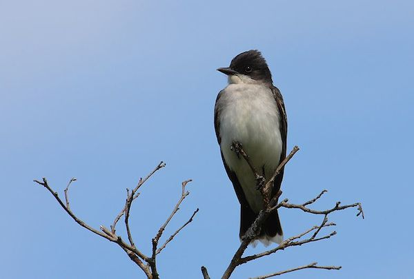 Eastern Kingbird (Photo: Creative Commons)