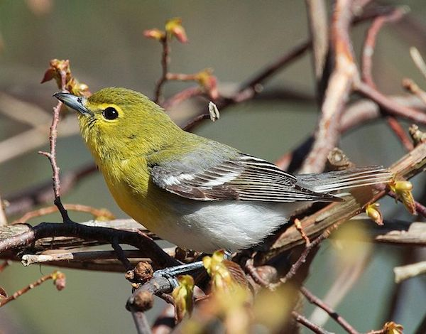 Yellow-throated Vireo (Photo: Creative Commons)