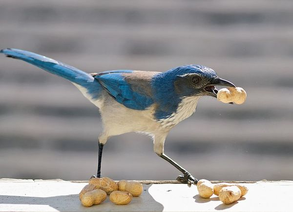 Western Scrub-Jay (Photo: Ingrid Taylar/Creative Commons)