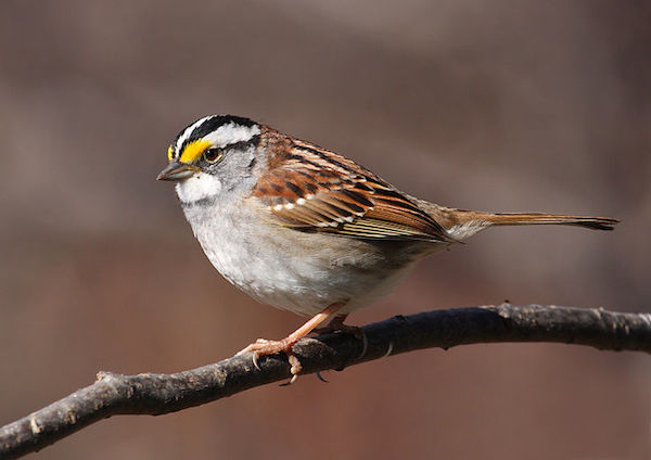 White-throated Sparrow (Photo: Wikimedia Commons)