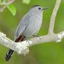 Bird Identification Guide: Mockingbirds & Thrashers