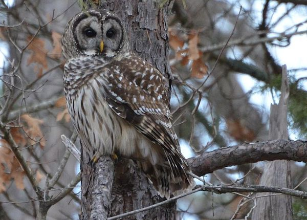 Barred Owl (Photo: Creative Commons)