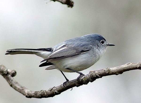 Blue-gray Gnatcatcher (Photo: Creative Commons)