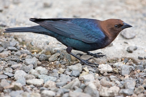 Brown-headed Cowbird (Photo: Creative Commons)
