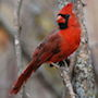 Bird Identification Guide: Cardinals & Allies