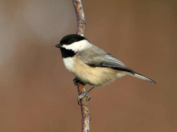 Carolina Chickadee (Photo: Bill Thompson, III)