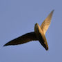 Bird Identification Guide: Swifts