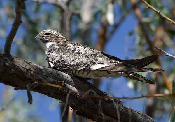 Common Nighthawk (Photo: Andy Reago and Chrissy McClarren / Wikimedia)