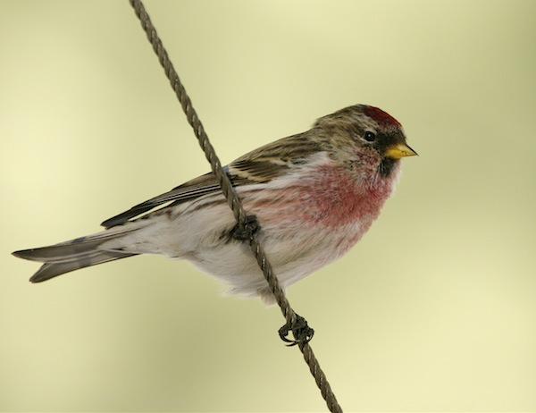Common Redpoll (Photo: Creative Commons)
