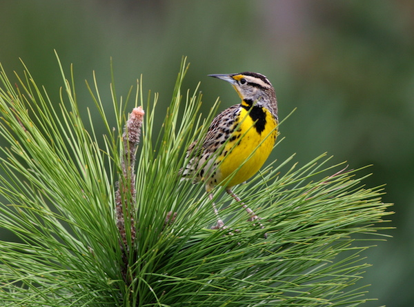 Eastern Meadowlark (Photo: Bill Thompson, III)