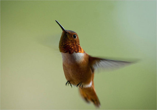 Rufous Hummingbird (Photo: USFWS)