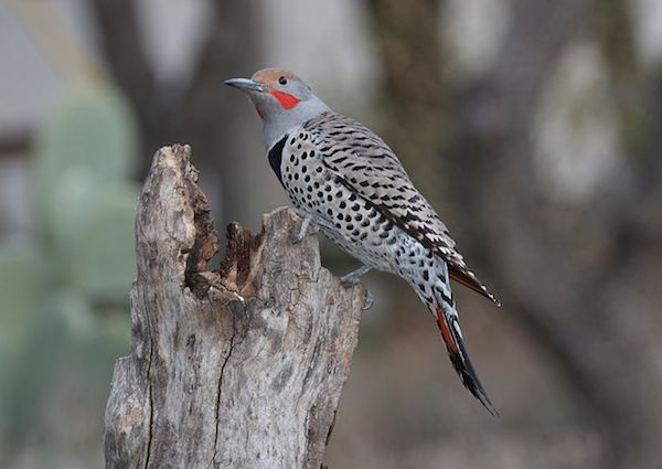 Northern Flicker, red-shafted (Photo: Dominic Sherony/Creative Commons)