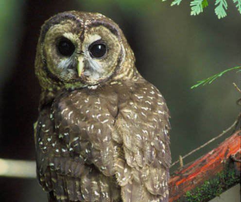 Spotted Owl (Photo: USFWS)