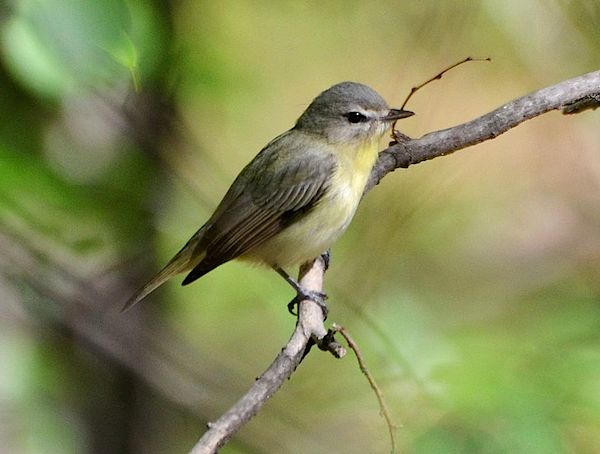 Philadelphia Vireo (Photo: Andy Reago and Chrissy McClarren/Creative Commons)