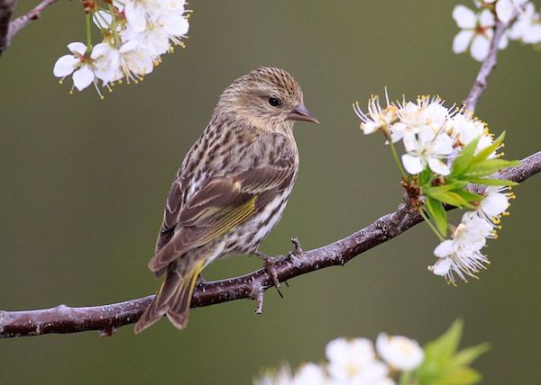 Pine Siskin (Photo: Creative Commons)