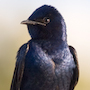 Bird Identification Guide: Swallows & Martins