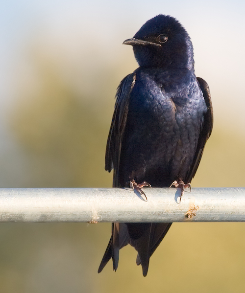 Purple Martin (Photo: Creative Commons)
