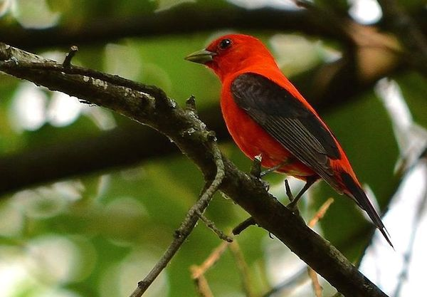 The north shore of Lake Erie, from Long Point to Point Pelee, offers spectacular birding in May, as returning migrants, tired from their long flight over the Great Lake, fill the trees and marshes. Scarlet tanager photo by Wikimedia.