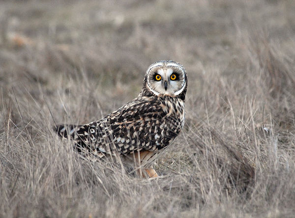 Short-eared Owl (Photo: USFWS)