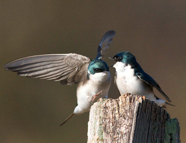 Tree Swallows (Photo: Bill Thompson, III)