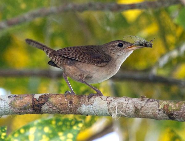 House Wren » Bird Watcher's Digest
