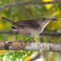 Bird Identification Guide: Wrens