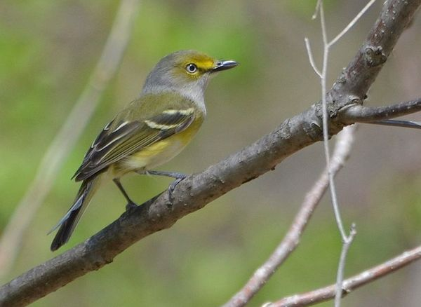 White-eyed Vireo (Photo: Andy Reago and Chrissy McClarren/Creative Commons)