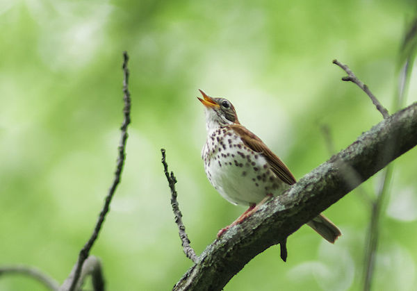 Wood Thrush (Photo: Creative Commons)
