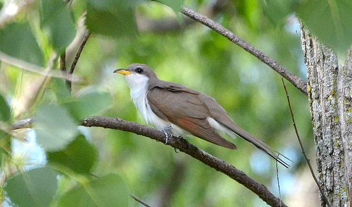 Yellow-billed Cuckoo (Photo: Andy Reago & Chrissy McClarren / Wikimedia)
