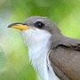 Bird Identification Guide: Cuckoos & Roadrunners
