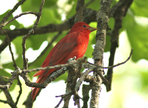 Summer Tanager (Photo: Bill Thompson, III)