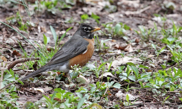 American Robin (Photo: Kyle Carlsen)