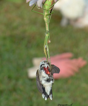 The mantis impales the hummingbird's chest with its foreclaws.