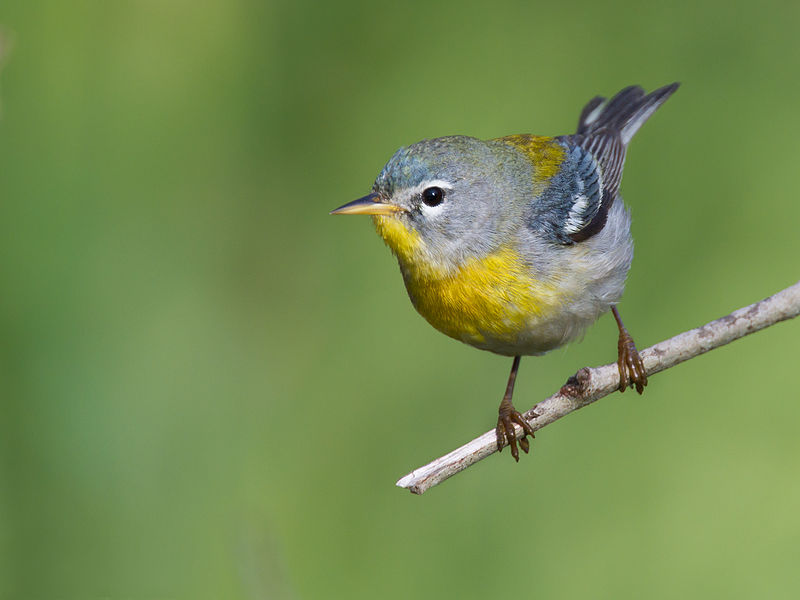 Northern Parula (Photo: Creative Commons)