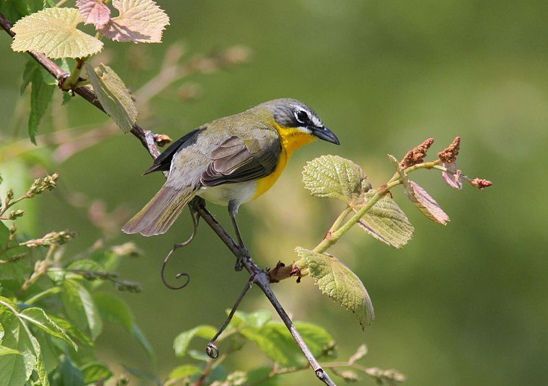 Yellow-breasted Chat (Photo: Creative Commons)
